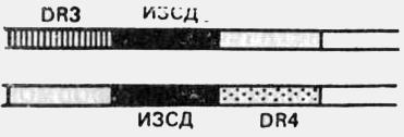 Гипотетическая схема возможной гомозиготности по мутантному гену, детерминирующему ИЗСД, при наличии аллелей DR3 и DR4 и при допущении их расположения в двух самостоятельных локусах